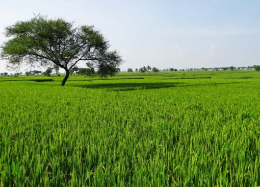 India Rice Production