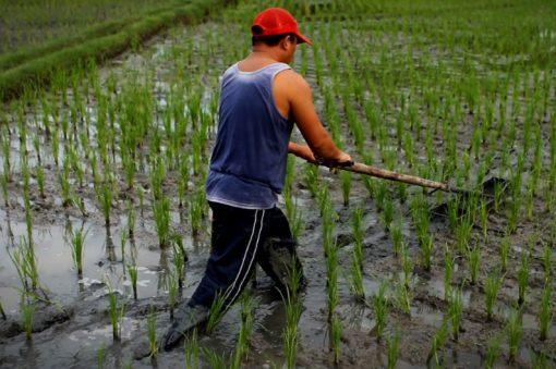 Brazil Rice Production