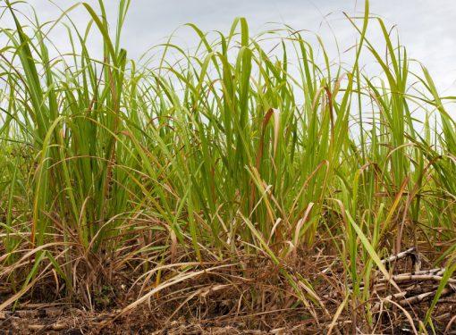 Sugar Plantation USA