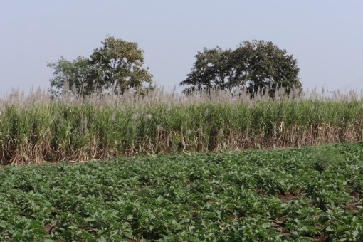 Sugar Plantation India