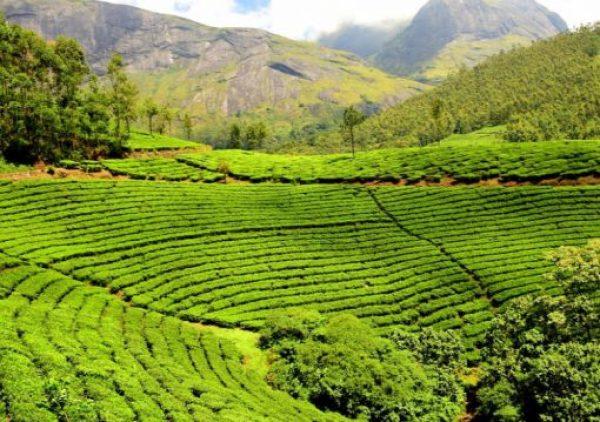 India Tea Production