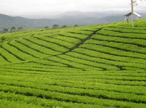 Indonesia Tea Production