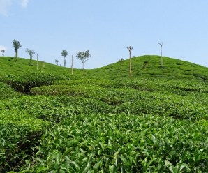 The Top 10 Most Tea Producing Countries in the Entire World