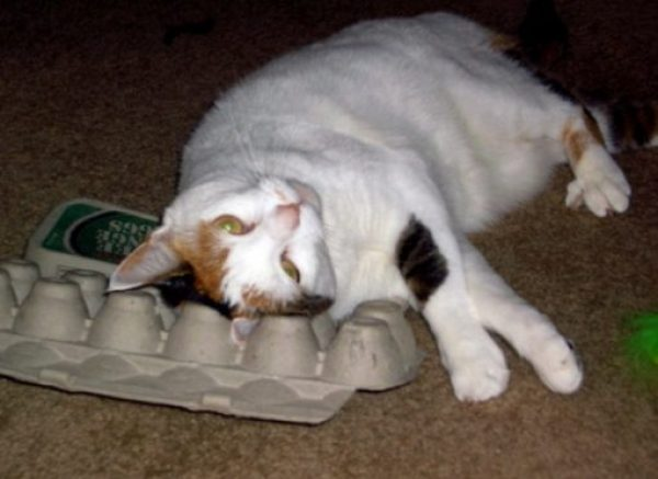 Cat Rubbing on an Egg Carton