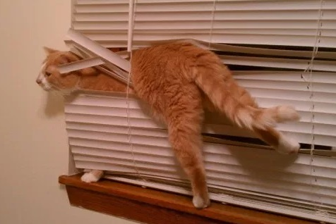 Cat Tangled Up in a Blind