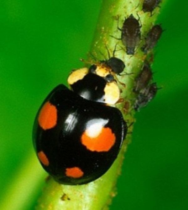 Black Shell, Orange Spots Ladybug/Ladybird