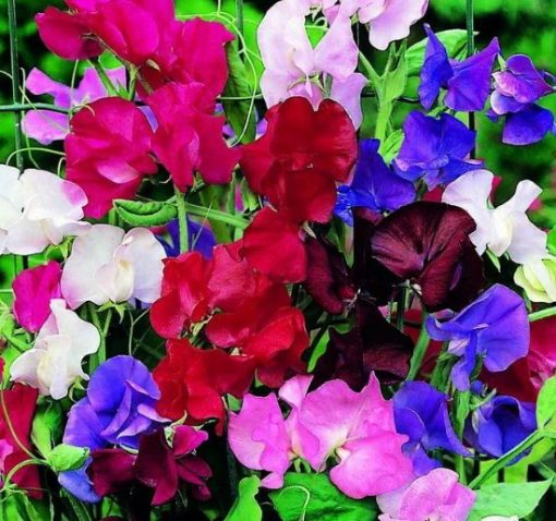 Sweet Pea (Special Mix)
