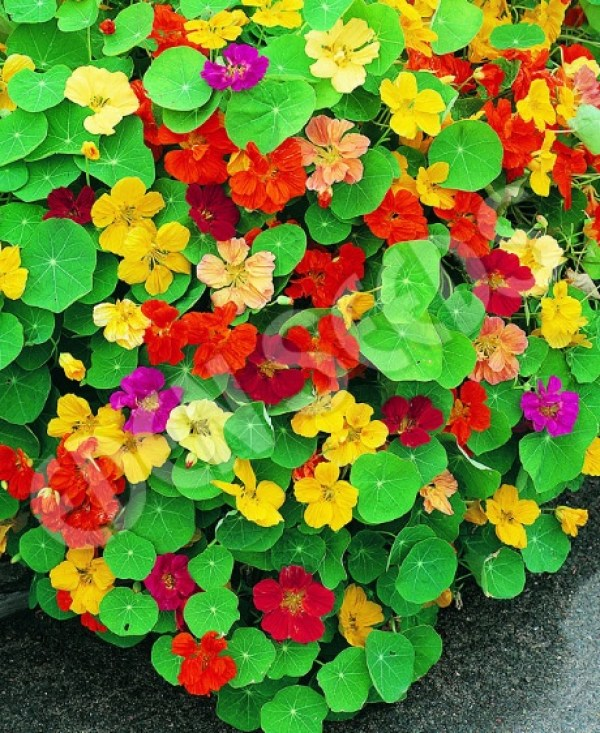 Nasturtium (Jewel Mixed)