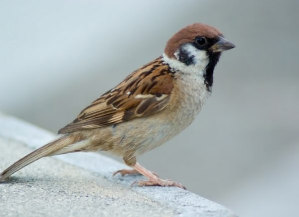 Hedgerow Sparrow