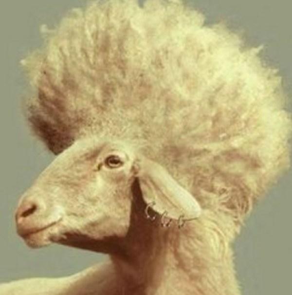 Funny Sheep