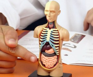 The Top 10 Largest Organs in the Human Body