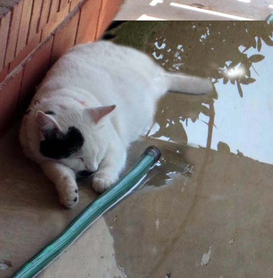 Cat Staying Cool in a puddle
