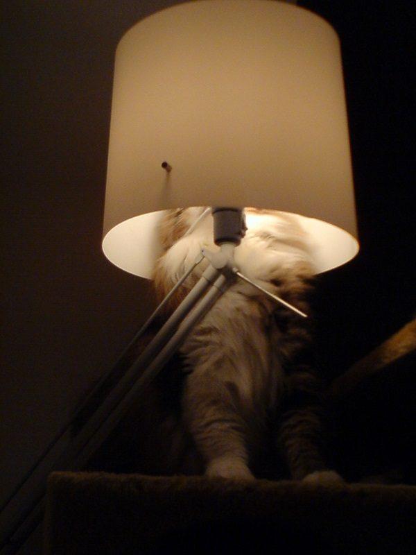 Cat Hiding in a Lamp Shade