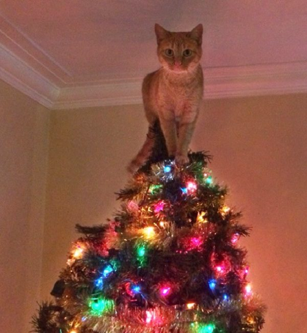 Are Christmas Trees Bad For Cats: Ten Cats On Top Of Christmas Trees Who Think They Are Fairies