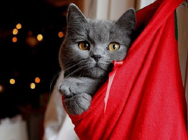 Ten of the Most Festive Christmas Cats in Stockings You Will Ever See!
