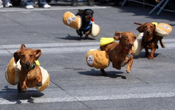 Dachshund Racing