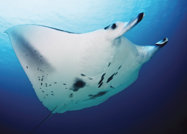 Reef manta ray