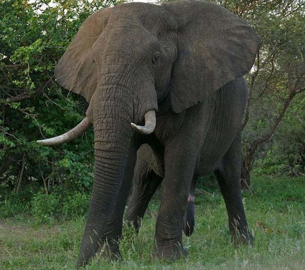 African bush elephant
