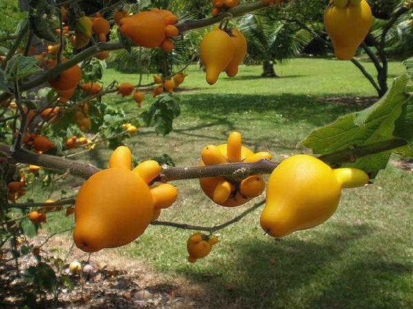 Nipplefruit (Solanum mammosum)