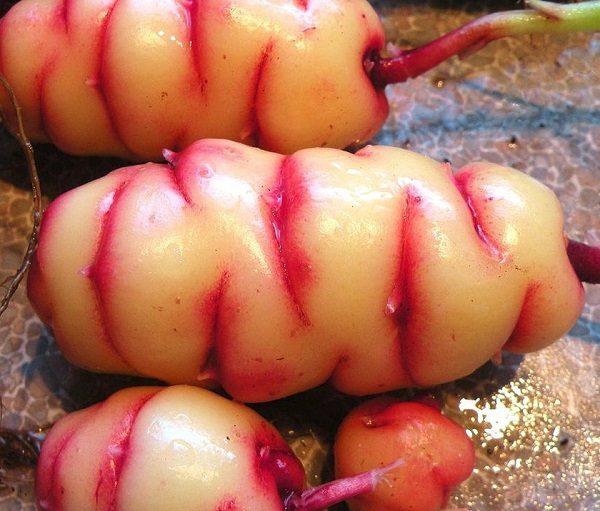 New Zealand yam (Oxalis tuberosa)