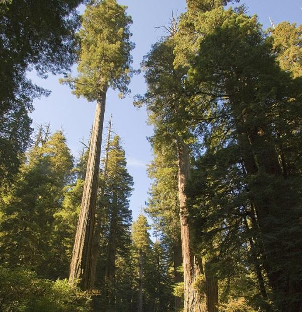 Coast Redwood Tree