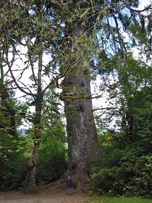 Sitka Spruce Tree