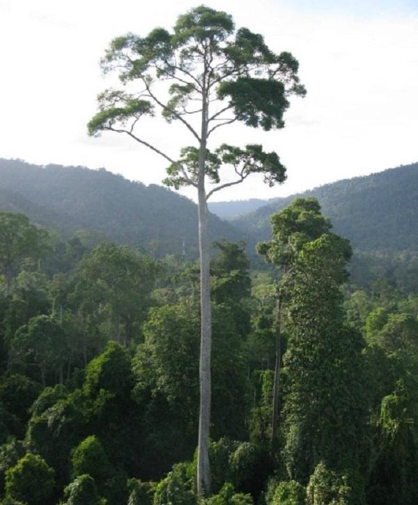 Yellow Meranti Tree