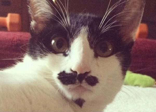 Cat With Well Groomed Mustache and Goatee