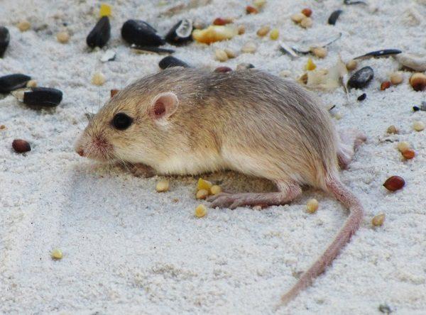Little Pocket Mouse