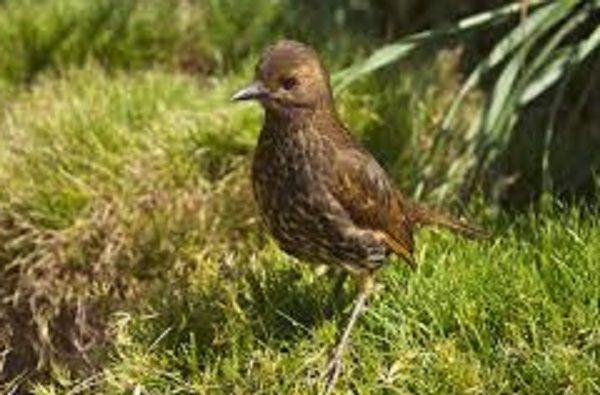 Tristan Thrush Bird