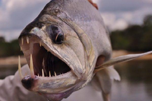 Candiru Vampire Catfish