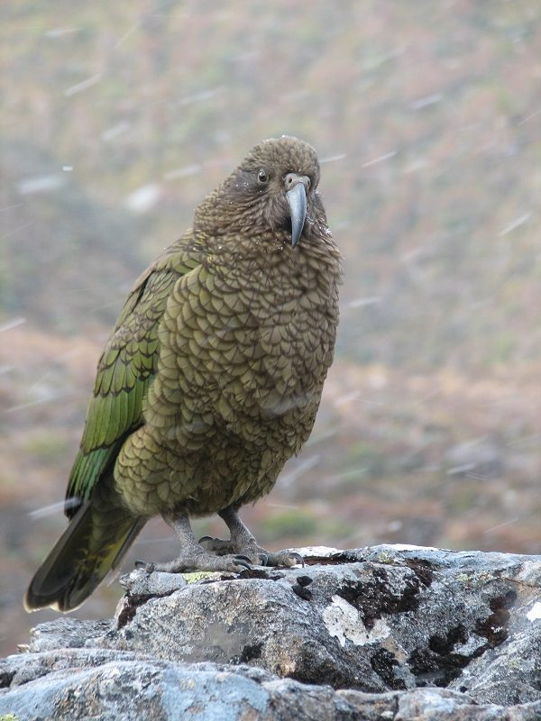 Kea Vampire Parrot