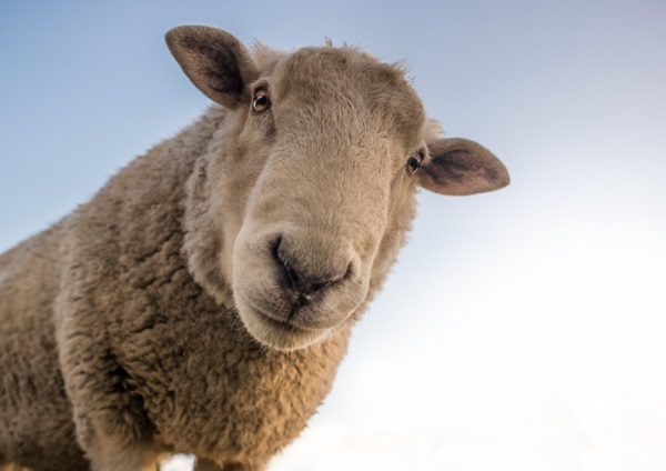 The Sheep with 200 Mentions in the Bible