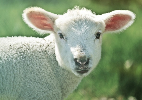 The Lamb with 188 Mentions in the Bible