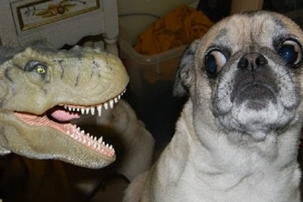 Pug Pulling Funny Face