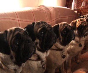 Ten Photos That Show Why Pugs Are Just the Best!
