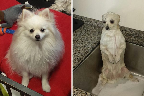 Dog Picture Taken Before And After A Bath