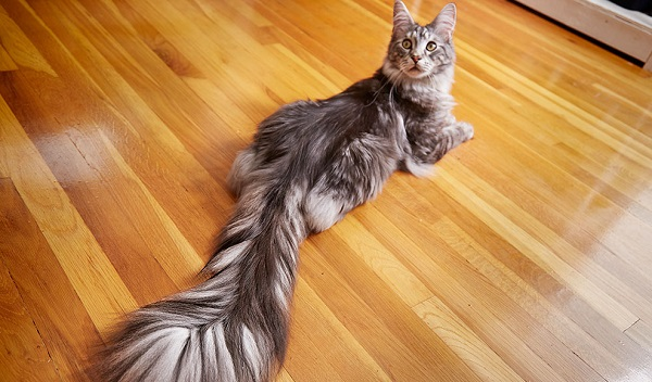 Cygnus, the Longest Tail on a Domestic Cat