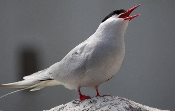 Arctic Tern - Maximum Migration Distance: 12,500 Miles (20,117 KM)