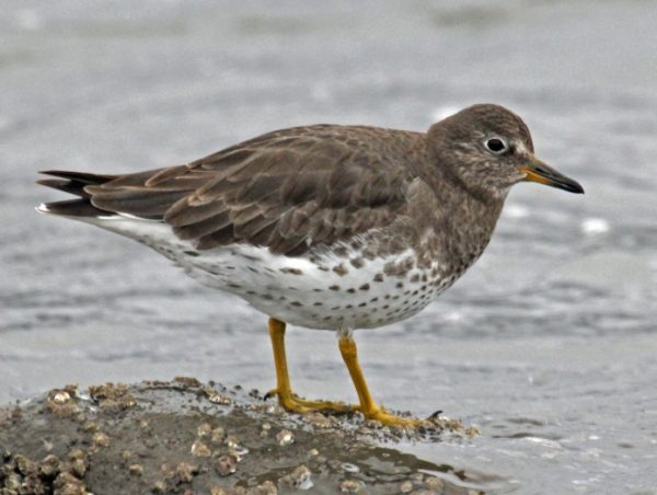 Surfbird - Maximum Migration Distance: 7,200 Miles (11,587 KM)