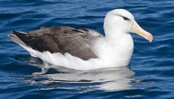 Albatross - Maximum Migration Distance: 9,360 Miles (15,063 KM)