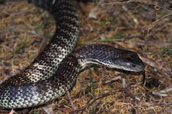 Black Tiger Snake