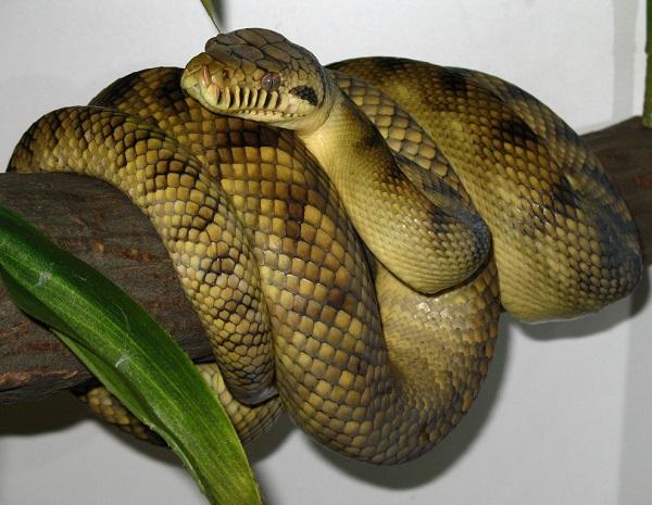 Amethystine (scrub) Python