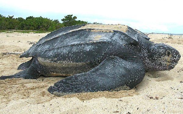 Atlantic Leatherback Turtle