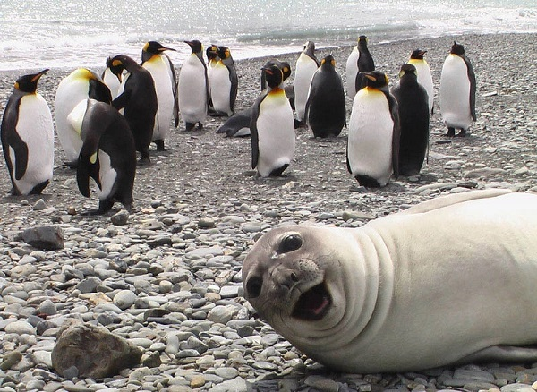 Seal and Penguins Photobomb