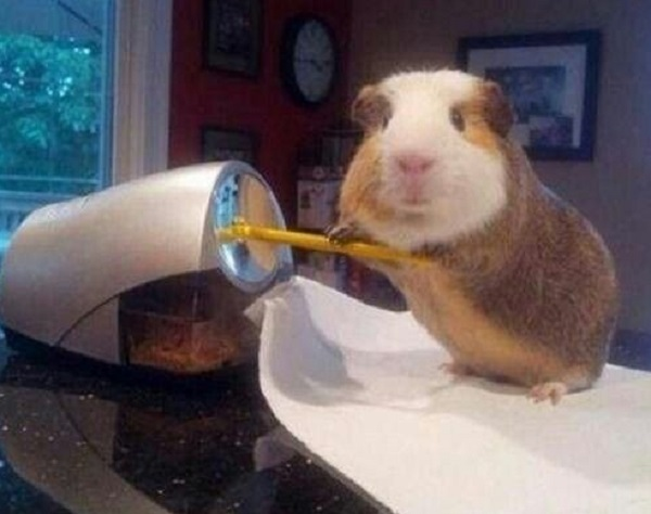 Sharpen That Pencil Mr Guinea Pig
