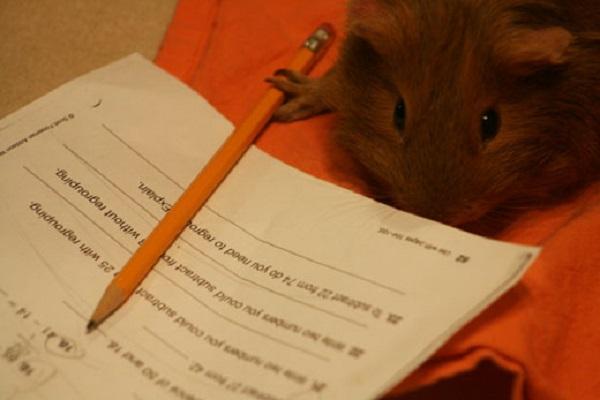 Guinea Pig Doing Homework