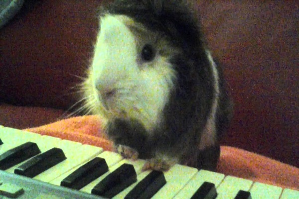 Guinea Pig Playing the Piano
