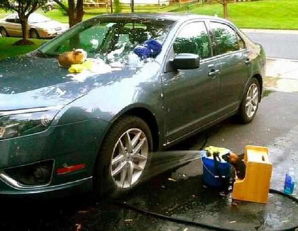 Guinea Pigs Washing Car