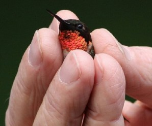 Ten of the Worlds Smallest Birds and Their Average Adult Size